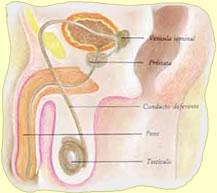 Disfunción eréctil en el paciente trasplantado